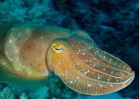 tnc151204_cuttlefish_1280.jpg.CROP.promo-xlarge2